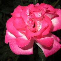 Роза в бриллинтах... :: Тамара (st.tamara)