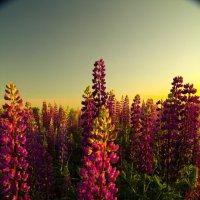 полевое фиалетовое счастье! :: Екатерина Пономарева