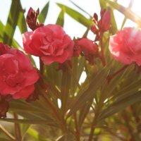 розы :: Daria Sevostianova