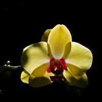солнечная орхидея :: Александр Корчемный