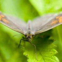 Бабочка. :: Nicholas SfN