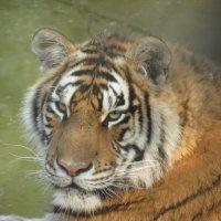 тигр 1 :: татьяна Филатова