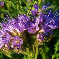 Медоносные цветы июля :: Валентина Пирогова