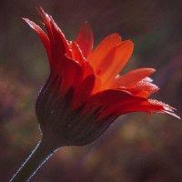 Макроцветок :: Александр Мартовецкий
