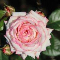 наши розы :: Катерина ч