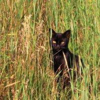 Черный кот в траве :: Юрий Стародубцев