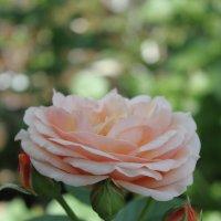 Розовое облако :: Larisa