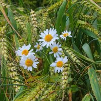 В пшенице. :: Маргарита ( Марта ) Дрожжина