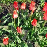 Апрель,тюльпаны в моём саду... :: Тамара (st.tamara)