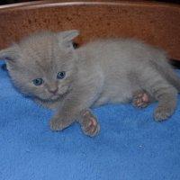 Котёнок британской кошки :: Татьяна Кретова