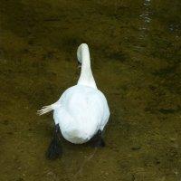 Лебедь кормится... :: BoxerMak Mak