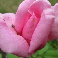 Розовая нежность... :: Тамара (st.tamara)