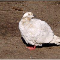 кокетка) :: linnud