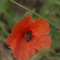 пчелки майи :: Тамара Бердыева