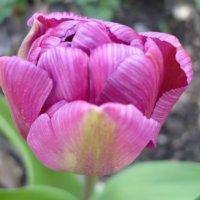 Тюльпаны :: Lyubov Zomova
