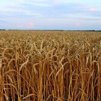 Поле..Русское поле... :: Andrey Klink
