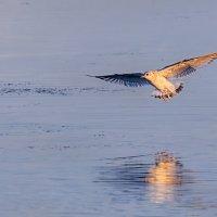 Чайки на Шумилинском озере. 02. :: Анатолий Клепешнёв
