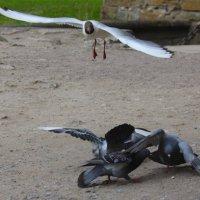 Чайка и голуби :: Денис Матвеев