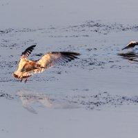 Чайки на Шумилинском озере. 05. :: Анатолий Клепешнёв