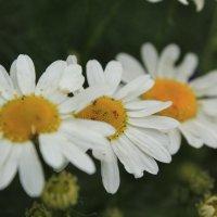 цветок полевой :: Дарья Карпеева