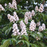 Каштан цветёт. :: zoja