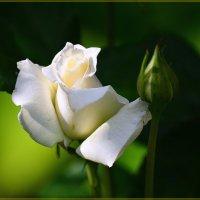 Чайная роза :: mila