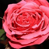 роза :: Диляра Садриева