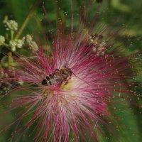 Пчелка в метелке :: Константин Вергун