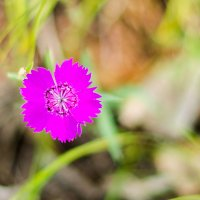 цветок :: Сергей Сол