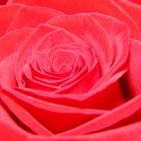 Роза :: Екатерина Харитонова