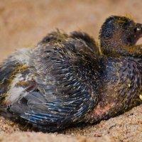 Птенец чайки. :: Виктор Евстратов
