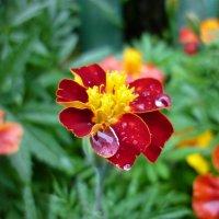 да, не роза......бархатцы то же красивые цветы)) :: Oxi --