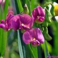 Чем не орхидеи? :: Наталья Лакомова
