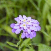цветок :: Ильсия Рахматуллина