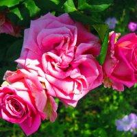 розы :: Татьяна Королёва