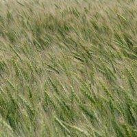 поля,как море :: татьяна горбунова