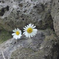цветок в камне :: zaza 41 картвелишвили