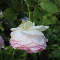 Роза :: Ксения