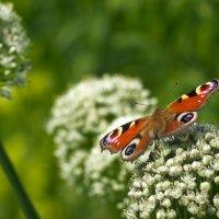 Бабочка (дневной павлиний глаз) на цветущем луке :: Александр Крупский