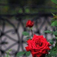 Красная роза :: Сергей