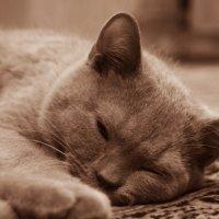 Ясон(кот) :: Galina Belugina