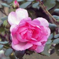 Centenaire de Lourdes Rose :: Сергей Мягченков