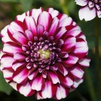 Мамины цветы :: Альбина
