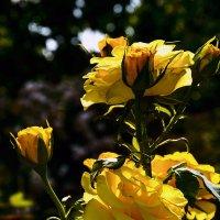 Розы, на закате. :: Виктор Лавриченко