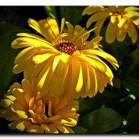 Цветение календулы :: Любовь Чунарёва