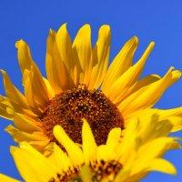 Подсолнух на языке цветов – символ оптимизма, веселья и благополучия, цветок тепла и солнца :: Вадим Поботаев