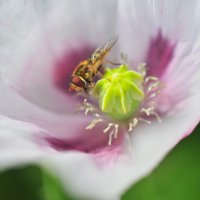 И насекомые любят мак :: Андрей Куприянов