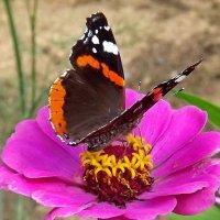 Циния и бабочка :: Liliya Kharlamova