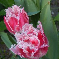 тюльпаны :: Вирма Северная
