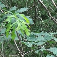 Тихо,тихо молодые листочки дуба что-то шепчут ветвям ели :: Domna Kuznechic